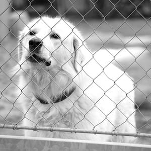 Dog Barking At A Fence